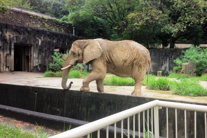 東山動植物園のゾウ